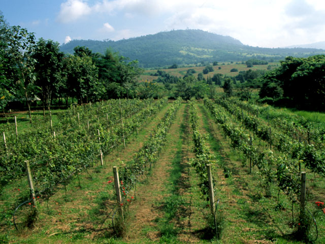 Vineyards at Village farm society in Khao Yai