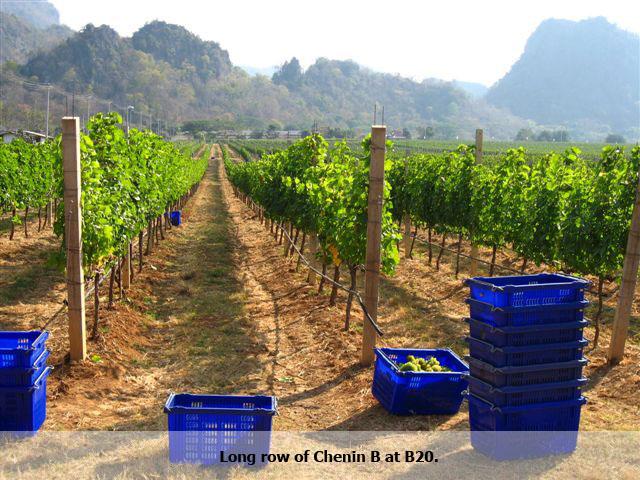 GranMonte vineyards in Khao Yai